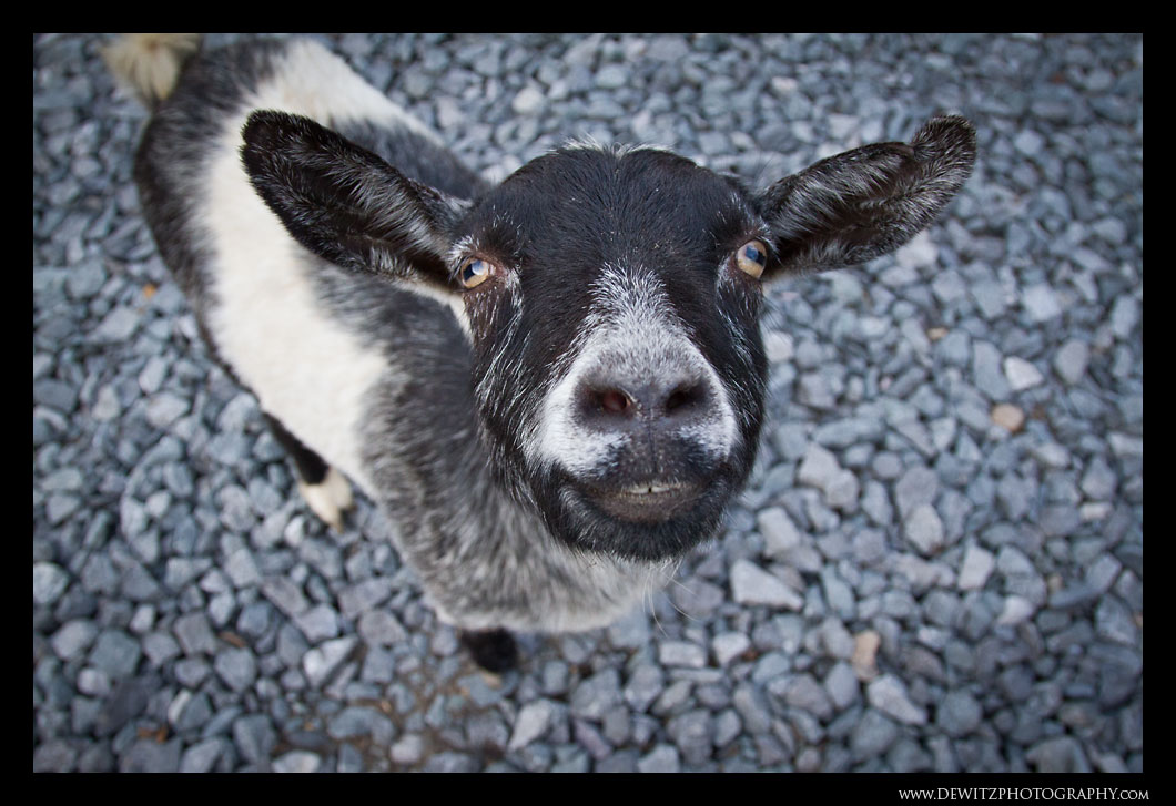 Friendly Goat