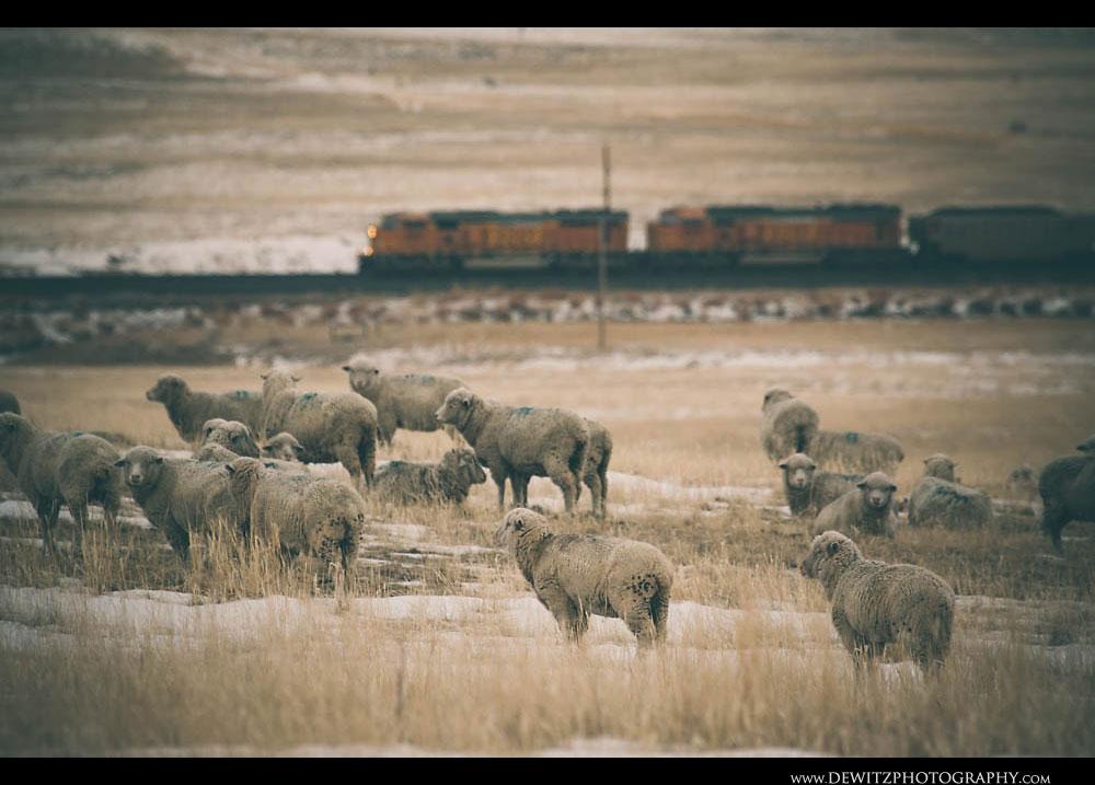 123Sheep Watch BNSF Coal Train