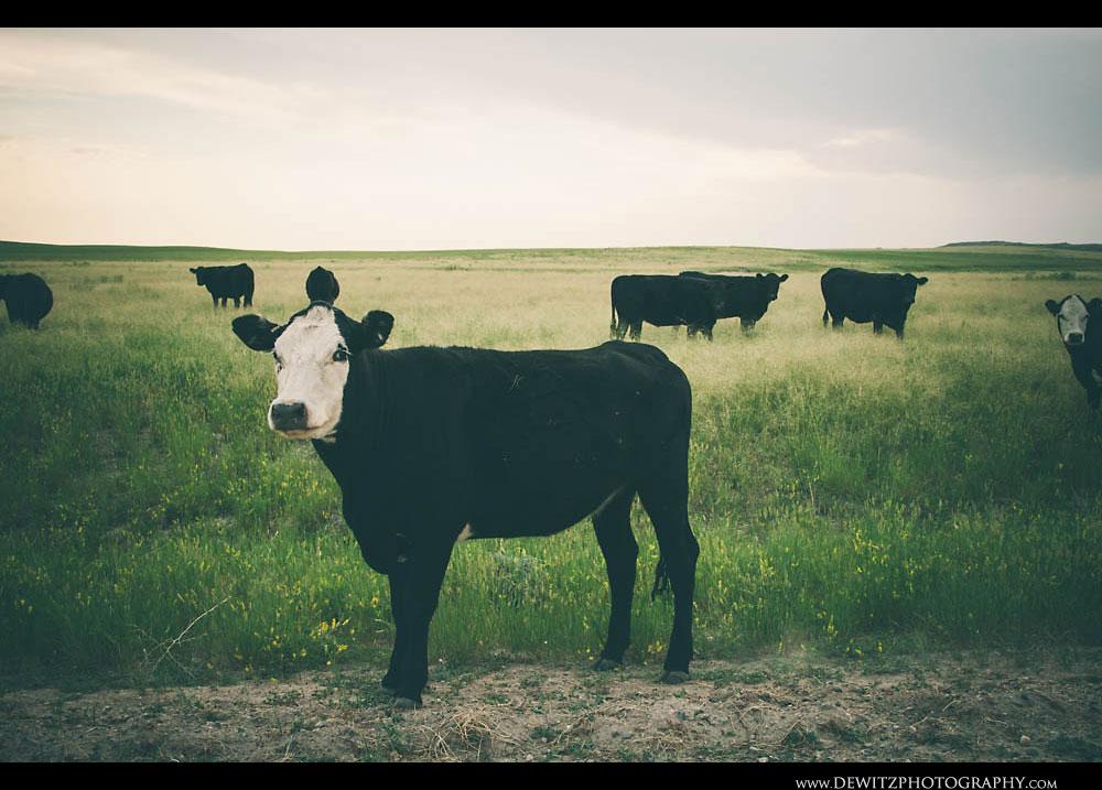 166White Faced Cow