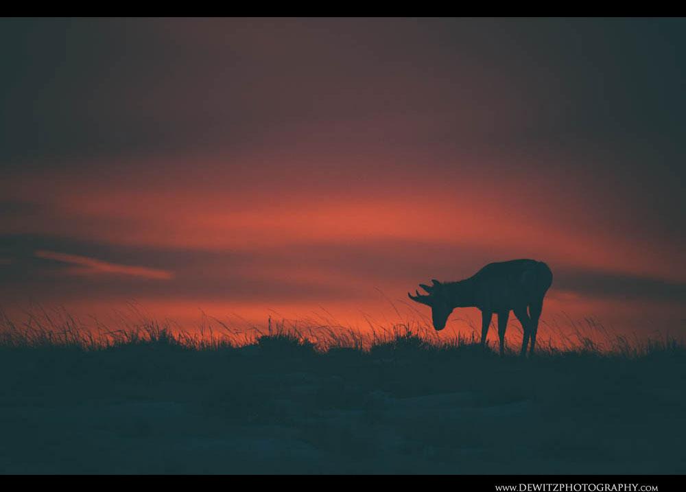 221Pre Dawn Antelope in the Basin