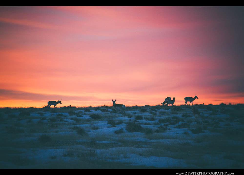 269Antelope Sunrise in the Snow