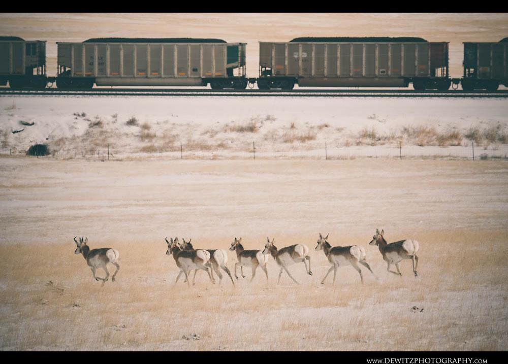 318Antelope Running Along Loaded Coal Hoppers