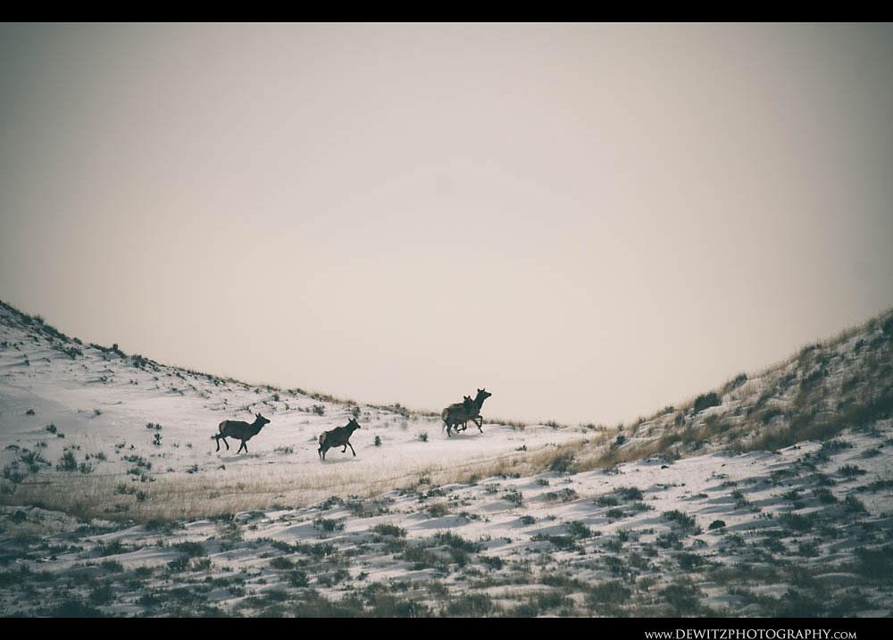 361Running Elk in Wyoming Powder River Basin