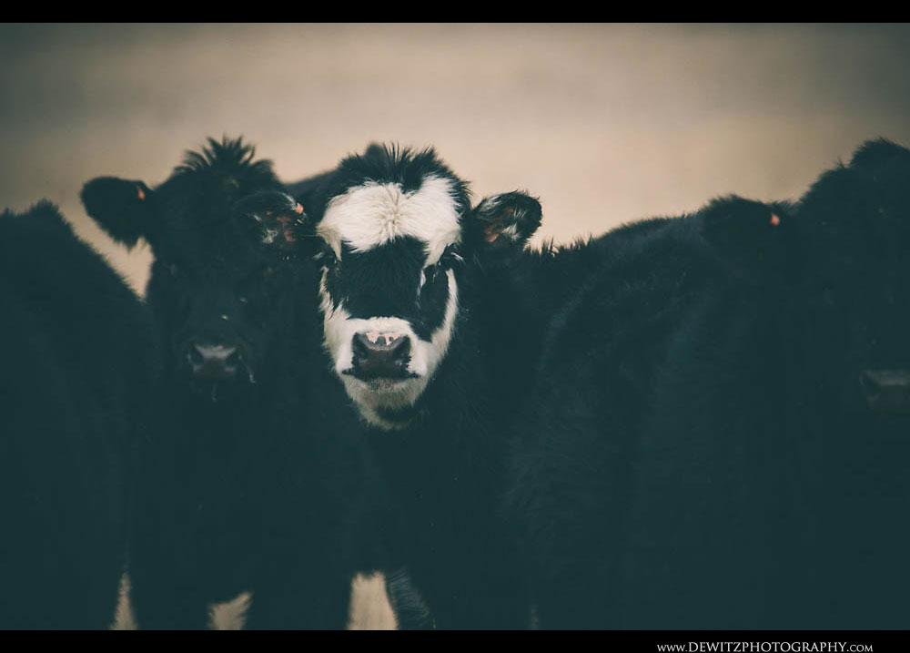 363Black and White Beef Steer