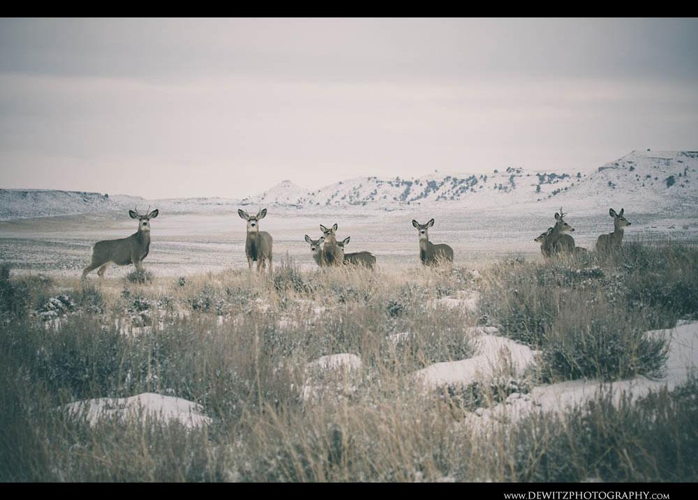 96Mule Deer Roam the Wyoming Powder River Basin