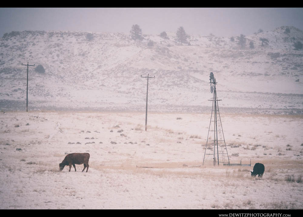 125Cows Graze Wyoming Ranch Land in Winter