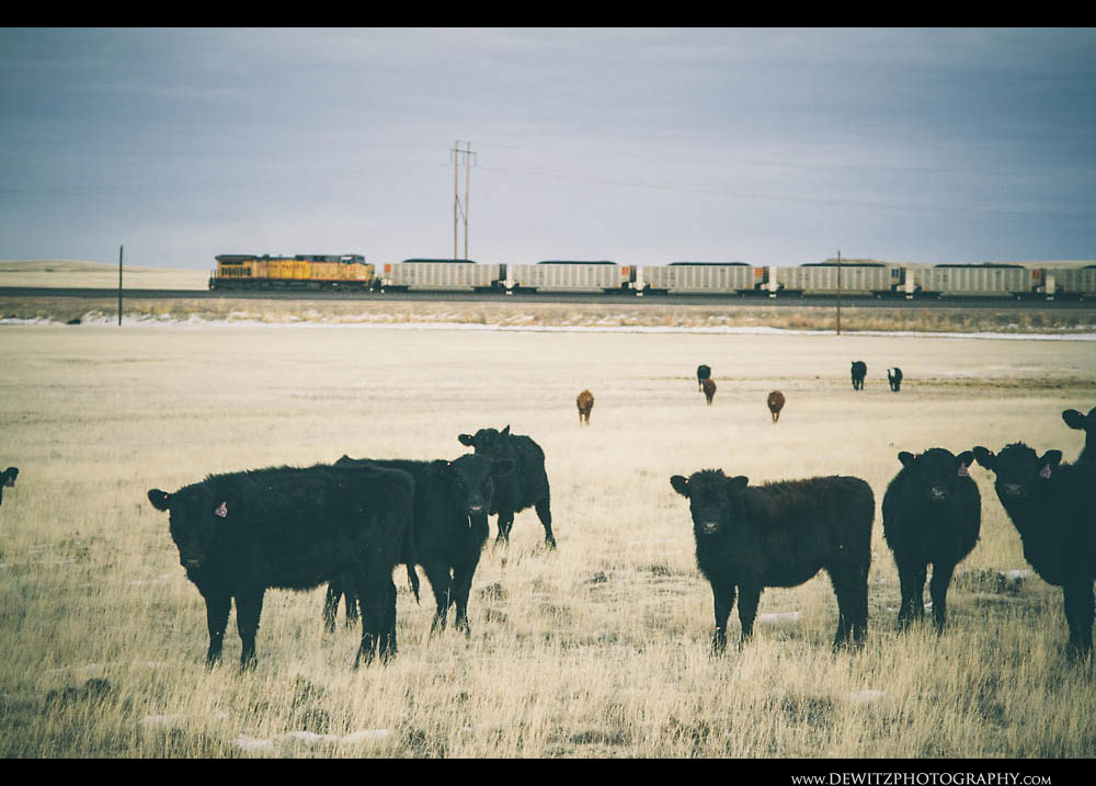 15Cattle and Coal Cars