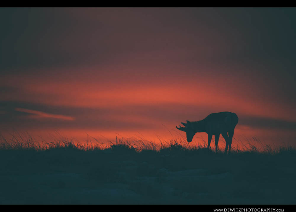 221Pre Dawn Antelope in the Basin
