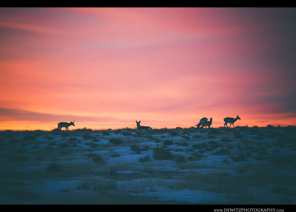 269Antelope Sunrise in the Snow